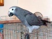 PO12 Pair hand fed African Grey parrots
